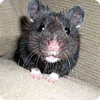 Adopt A Pet :: Cheerio - Bensalem, PA