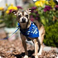Adopt A Pet :: Snickers - San Francisco, CA