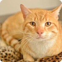 Adopt A Pet :: Ringo - Rockville, MD