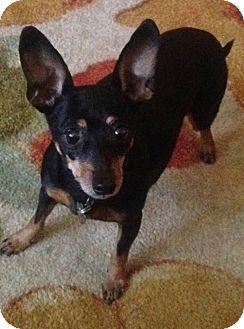 Chihuahua/Miniature Pinscher Mix Dog for adoption in Anchorage, Alaska - Lil Bit