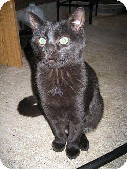 Domestic Shorthair Cat for adoption in Longview, Washington - Alice