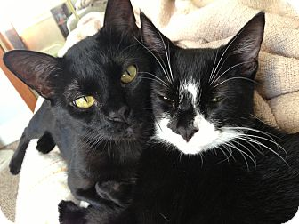 Domestic Shorthair Cat for adoption in Bryn Mawr, Pennsylvania - BONDED PAIR/ Noir and Figaro
