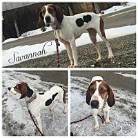 Adopt A Pet :: Savannah - Vancouver, WA
