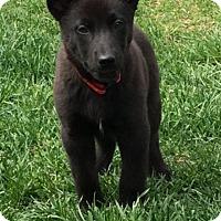 Adopt A Pet :: Aria - New Oxford, PA