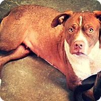 Labrador Retriever/Pit Bull Terrier Mix Dog for adoption in Odessa, Texas - Lola