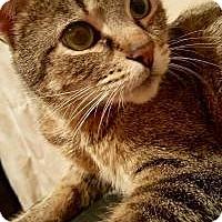 Adopt A Pet :: Jolie - Walled Lake, MI