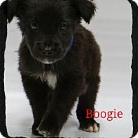 Adopt A Pet :: Boogie - Old Saybrook, CT