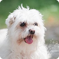 Maltese Mix Dog for adoption in King City, Ontario - Chloe