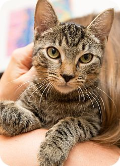 Domestic Shorthair Cat for adoption in Brooklyn, New York - Pokemon