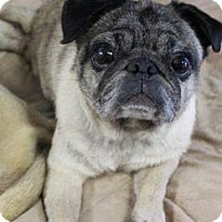 Pug Dog for adoption in Gardena, California - Brandy