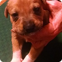 Pit Bull Terrier/Labrador Retriever Mix Puppy for adoption in Gallatin, Tennessee - Pepsi
