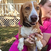 Adopt A Pet :: Snoops Gentle 2 Year Old LOVES CATS - Rowayton, CT