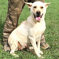 Labrador Retriever/Shepherd (Unknown Type) Mix Dog for adoption in Slidell, Louisiana - Zoey