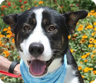 Bernese Mountain Dog/Husky Mix Dog for adoption in Dallas, Texas - MILES