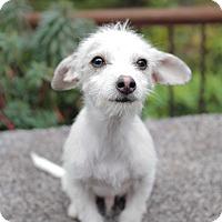 Adopt A Pet :: Mickey - West Linn, OR