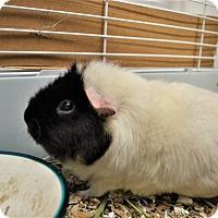 Adopt A Pet :: Chickadee - Seattle, WA