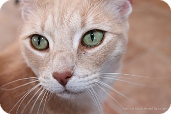Domestic Shorthair Cat for adoption in Hartville, Wyoming - Tiger