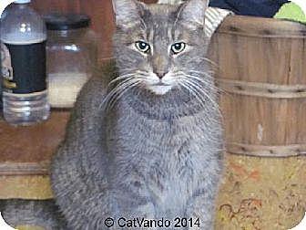 Domestic Shorthair Cat for adoption in Maywood, Illinois - Booboo