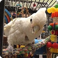Cockatoo for adoption in Northbrook, Illinois - Shady