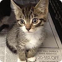 Adopt A Pet :: Neko - Island Park, NY
