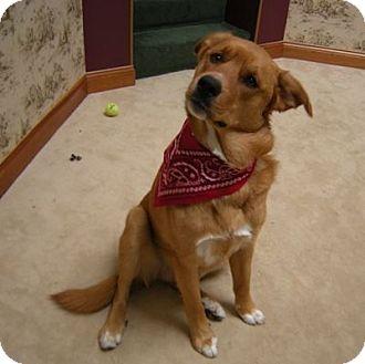 Golden Retriever Mix Dog for adoption in Minnetonka, Minnesota - Redd