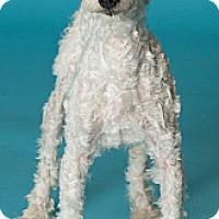 Adopt A Pet :: Fabian - no shed! - Phoenix, AZ
