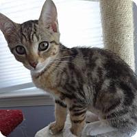 Adopt A Pet :: Truffles - Colmar, PA