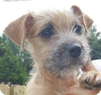 cairn terriershih tzu mix puppy for adoption in trenton
