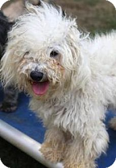 Bichon Frise Dog for adoption in Memphis, Tennessee - Dinky