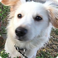 Adopt A Pet :: Shiloh - Buena Park, CA