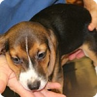 Adopt A Pet :: Luke - Dumfries, VA