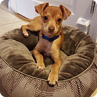 Adopt A Pet :: Prima - San Diego, CA