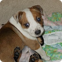 Adopt A Pet :: Edith - Nashville, TN