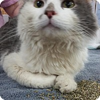 Adopt A Pet :: Smudgie - Akron, OH
