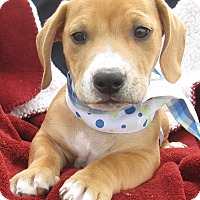 Adopt A Pet :: Charlie~ meet me! - Glastonbury, CT