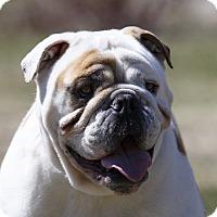 Adopt A Pet :: BONZO - Ile-Perrot, QC