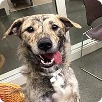 Adopt A Pet :: Blondie - Columbus, OH