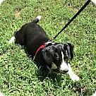 Adopt A Pet :: Carley