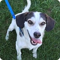 Adopt A Pet :: COMMANCHE - Albany, NY