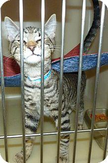 Domestic Shorthair Cat for adoption in Zanesville, Ohio - 47409 Hunter @ Petsmart