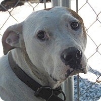 Adopt A Pet :: Chase - Henderson, NC