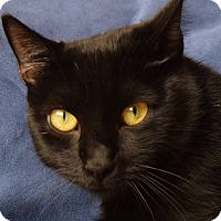 Domestic Shorthair Cat for adoption in New  York City, New York - Coffy