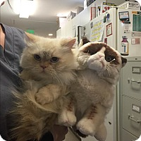 Ragdoll Cat for adoption in Westminster, Colorado - Fluffy - Courtesy Listing