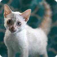 Siamese Kitten for adoption in Allentown, Pennsylvania - Tabasco
