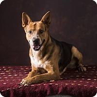 Shepherd (Unknown Type) Mix Dog for adoption in Clarksville, Arkansas - Greg