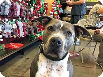 Pit Bull Terrier Mix Dog for adoption in Pleasanton, California - Gump