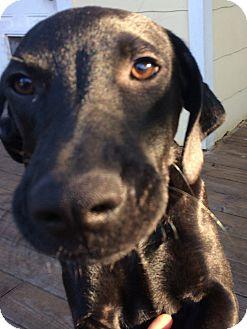 Labrador Retriever Puppy for adoption in St Petersburg, Florida - Chad ~ Black Lab Puppy
