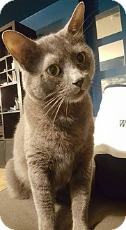Russian Blue Cat for adoption in THORNHILL, Ontario - MISTY (BONDED WITH SMOKY)