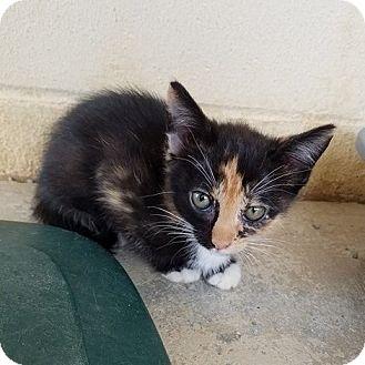 Calico Kitten for adoption in Umatilla, Florida - Polly