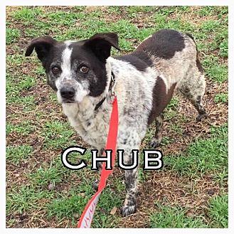 Australian Cattle Dog Mix Dog for adoption in Comanche, Texas - Chub